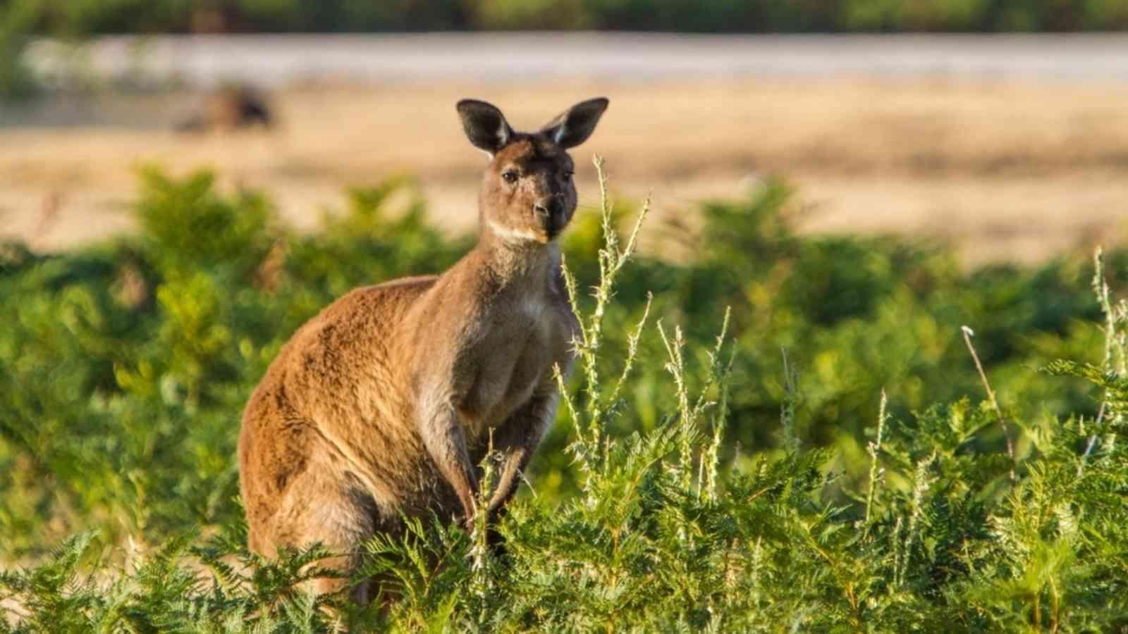 Kangaroos Ki 1024X576Px