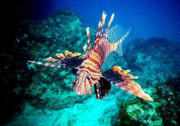 David-Biddulph-Lion-Fish-073.jpg#asset:20773