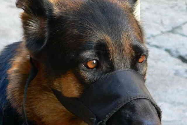 German Shepherd With Muzzle